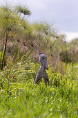 Shoebill (Balaeniceps rex), hunting for dipneuste (protoptera = pulmonary bony fish that bury themselves in the mud when water runs out, Mabamba swamp, Uganda