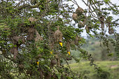 Village Weaver (Ploceus cucullatus), build a nest, Lake Mburo national park, Uganda