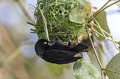 Vieillot's Black Weaver (Ploceus nigerrimus), build a nest, sing to attract a female, Mabamba swamp, Uganda