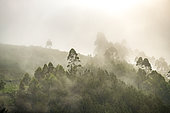 Tropical Rainforest, The rainforest of the Bwindi Impenetrable National Park, Central African Hills, Uganda,