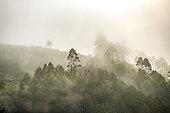 Forêt tropicale humide, La forêt ombrophile du parc national impénétrable de Bwindi, Collines d'Afrique centrale, Ouganda