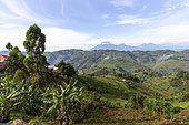 Part of the Virunga mountains seen from Uganda with from left to right Muhavura, Gahinga, Karisimbi mountain, Sabyinyo and Mikeno mountain, in the foreground of terraced crops who replaced the primary forest, Uganda, Hills of Central Africa, Virunga Volcanoes in the background, Uganda