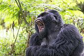 Mountain gorilla (Gorilla beringei beringei), male with silverback, dominant male yawning, Mark, Mgahinga, Uganda
