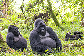 Mountain gorilla (Gorilla beringei beringei), family with dominant male, Mgahinga, Uganda