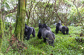 Mountain gorilla (Gorilla beringei beringei), family with dominant male called Mark, Mgahinga, Uganda