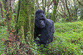 Mountain gorilla (Gorilla beringei beringei), male with silverback, dominant male, Mark, Mgahinga, Uganda