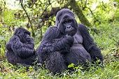 Mountain gorilla (Gorilla beringei beringei), young grooming the dominant male, Mgahinga, Uganda