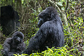Mountain gorilla (Gorilla beringei beringei), mother and baby, Mgahinga, Uganda