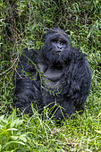 Mountain gorilla (Gorilla beringei beringei), male with silverback, dominant male, Mark, feeding on climbing vines, Mgahinga, Uganda