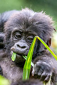 Mountain gorilla (Gorilla beringei beringei), One young eating, member of the Mishaya group, The rainforest of the Bwindi Impenetrable National Park, Tropical Rainforest, Kanungu District, Central African Hills, Uganda
