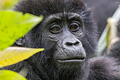 Mountain gorilla (Gorilla beringei beringei), One young, member of the Mishaya group, The rainforest of the Bwindi Impenetrable National Park, Tropical Rainforest, Kanungu District, Central African Hills, Uganda