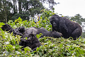 Mountain gorilla (Gorilla beringei beringei), family, members of the Mishaya group, The rainforest of the Bwindi Impenetrable National Park, Tropical Rainforest, Kanungu District, Central African Hills, Uganda
