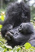 Mountain gorilla (Gorilla beringei beringei), One adult female resting, members of the Mishaya group, The rainforest of the Bwindi Impenetrable National Park, Tropical Rainforest, Kanungu District, Central African Hills, Uganda