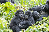 Mountain gorilla (Gorilla beringei beringei), Two youngs playing, members of the Mishaya group, The rainforest of the Bwindi Impenetrable National Park, Tropical Rainforest, Kanungu District, Central African Hills, Uganda