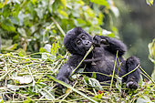 Mountain gorilla (Gorilla beringei beringei), One young, member of the Mishaya group, eating a rod, The rainforest of the Bwindi Impenetrable National Park, Tropical Rainforest, Kanungu District, Central African Hills, Uganda
