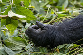 Mountain gorilla (Gorilla beringei beringei), hand detail, Dominant male Mishaya, members of the Mishaya group, The rainforest of the Bwindi Impenetrable National Park, Tropical Rainforest, Kanungu District, Central African Hills, Uganda