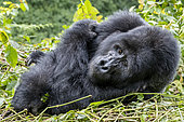 Mountain gorilla (Gorilla beringei beringei), Dominant male Mishaya, members of the Mishaya group, The rainforest of the Bwindi Impenetrable National Park, Tropical Rainforest, Kanungu District, Central African Hills, Uganda
