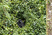 Mountain gorilla (Gorilla beringei beringei), Mother and baby, eating vegetal rod, members of the Mishaya group, The rainforest of the Bwindi Impenetrable National Park, Tropical Rainforest, Kanungu District, Central African Hills, Uganda