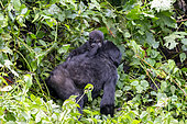 Mountain gorilla (Gorilla beringei beringei), Mother and baby, members of the Mishaya group, The rainforest of the Bwindi Impenetrable National Park, Tropical Rainforest, Kanungu District, Central African Hills, Uganda