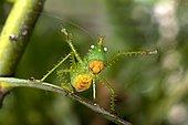 Threatening pose of a Spiny Devil Bush cricket (Panacanthus cuspidatus), Tiputini rain forest, Yasuni National Park, Ecuador, South America
