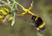 Garden Bumblebee (Bombus hortorum) worker pollinating a tomato flower Vosges du Nord Regional Nature Park, France