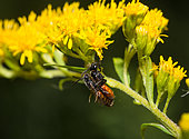 Sweat Bee (Sphecodes gibbus) on Canada Goldenrod (Solidago canadensis), Vosges du Nord Regional Nature Park, France