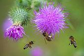 Honey bee (Apis mellifera) on Cirse de marais (Cirsium palustre), Vosges du Nord Regional Nature Park, France