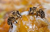 Honney bees (Apis mellifera) on a mirabelle plum, Vosges du Nord Regional Nature Park, France