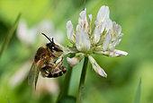 Solitary bee (Andrena decipiens) female on clover (Trifolium repens), Pays de Loire, France