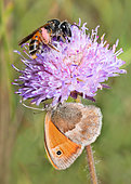 Large Scabious Mining Bee (Andrena hattorfiana) and Small Heath (Coenonympha pamphilus) on Field Scabiosa (Knautia arvensis), Vosges du Nord Regional Nature Park, France