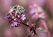 Green-eyed Flower Bee (Anthophora bimaculata) female on thyme flower, Vosges du Nord Regional Nature Park, France