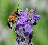 Anthophora (Anthophora pubescens) male on lavender (Lavandula angustifolia), Pays de Loire, France