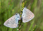 Large Blue Butterfly (Phengaris arion) mating, Vosges du Nord Regional Nature Park, France