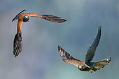 Kestrel ( Falco tinnunculus) couple in flight, Vosges du Nord Regional Nature Park, France