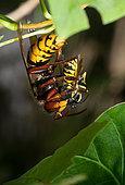 European hornet (Vespa crabro) devouring a common wasp (Vespula vulgaris), Vosges du Nord Regional Nature Park, France