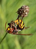 European Hornet (Vespa crabro) devouring a beetle, Vosges du Nord Regional Nature Park, France