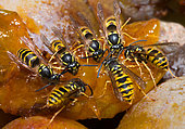 Common wasp (Vespula vulgaris) feeding on mirabelle plums, Vosges du Nord Regional Nature Park, France