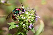 Golden wasp (Hedychrum rutilans) female on thyme flowers, Vosges du Nord Regional Nature Park, France