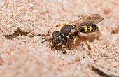 Digger wasp (Oxybelus argentatus) female digging a gallery, Vosges du Nord Regional Nature Park, France