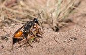 Golden digger wasp (Sphex funerarius) dragging a grasshopper towards its gallery, Vosges du Nord Regional Nature Park, France