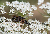 Parasitic wasp (Tiphia femorata) mating on wild carrot flowers, Vosges du Nord Regional Nature Park, France