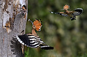 Hoopoe (Upupa epops), Flying male and female feeding a young at the entrance of the nest, Vosges du Nord Regional Nature Park, France