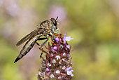 Brown Heath Robberfly (Tolmerus cingulatus) devouring a leafhopper, Vosges du Nord Regional Nature Park, France
