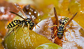 Paper wasp (Polistes biglumis) feeding on mirabelle plums Vosges du Nord Regional Nature Park, France
