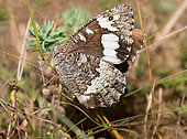 Great-banded Grayling (Brintesia circe) hidden in the grass, Vosges du Nord Regional Nature Park, France