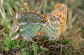 Silver-washed Fritillary (Argynnis paphia) mating, Vosges du Nord Regional Nature Park, France