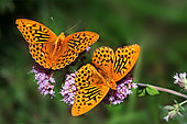 Silver-washed Fritillary (Argynnis paphia) males on oregano flowers, Vosges du Nord Regional Nature Park, France