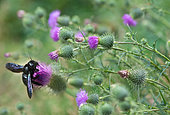 Carpenter bee (Xylocopa valga) on thistle (Cirsium palustre), Vosges du Nord Regional Nature Park, France