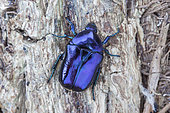 Scarab beetle (Eupotosia mirifica), Paiolive, Ardeche, France