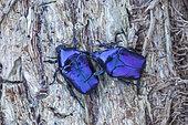 Scarab beetles (Eupotosia mirifica), Paiolive, Ardeche, France